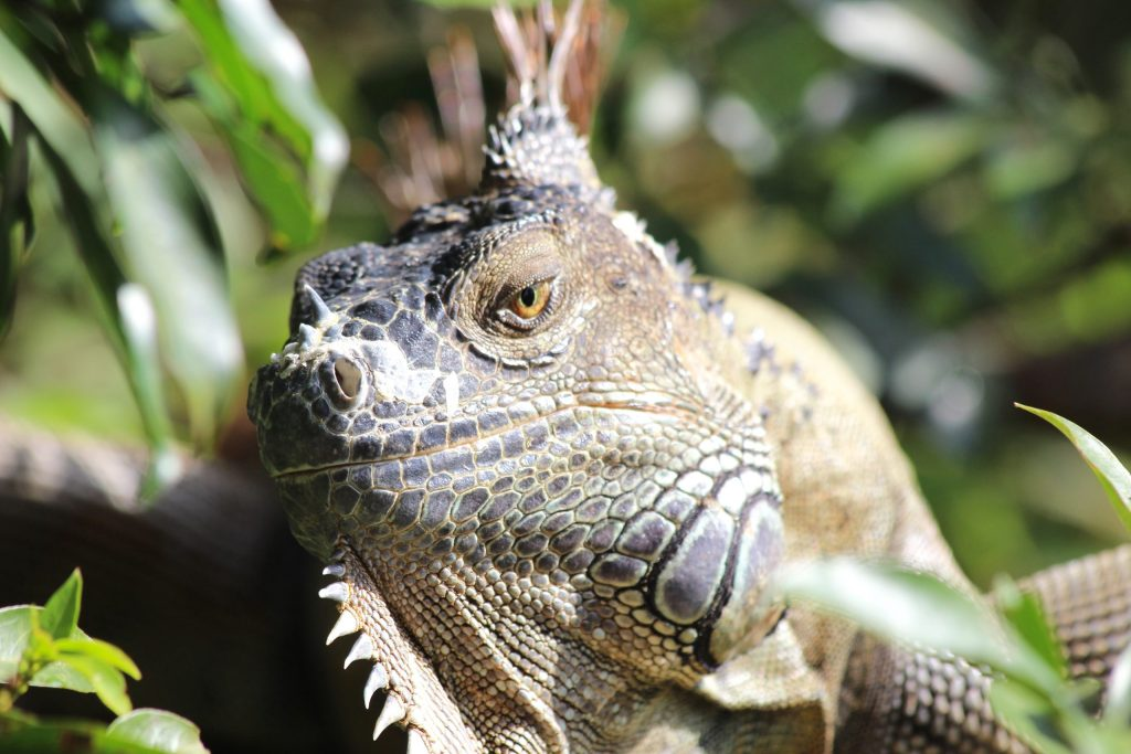 Green Iguana in Costa Rica with focal point just ahead of the eye (eye is less crisp).