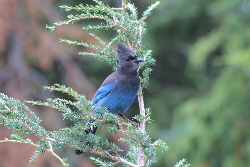 Looking straight at this Steller's Jay.