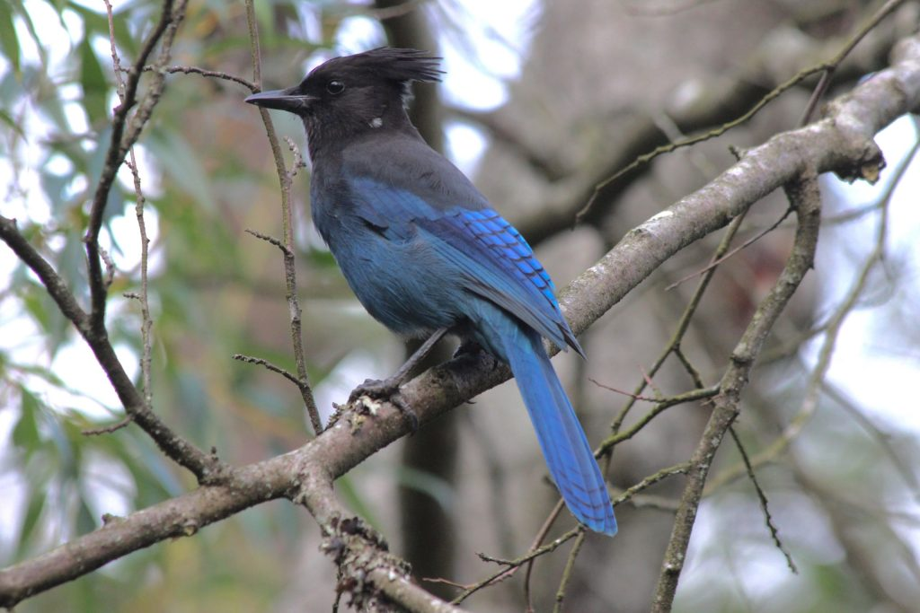 A nice side-on image of this Steller's Jay, but he's above me. It's fine, but I prefer the next one where we're eye-to-eye.