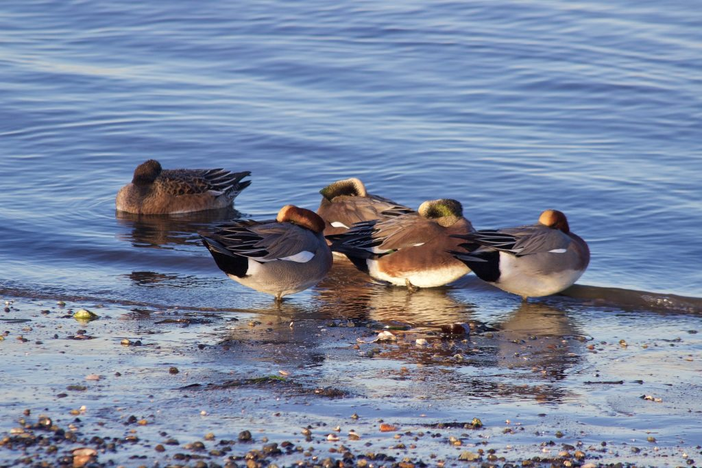 Two Eurasian Wigeon among American Wigeon at Blackie Spit in White Rock