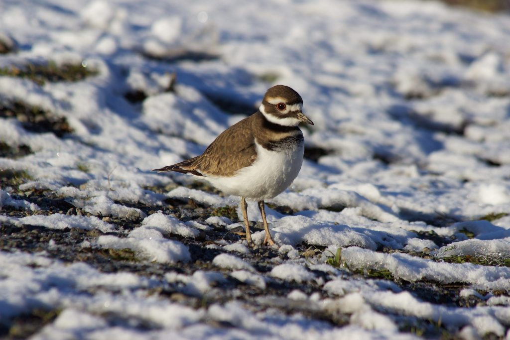 ...but not as much as I like this Killdeer in the snow. Sure the snow's nice, but I mostly prefer it because we're eye-to-eye.