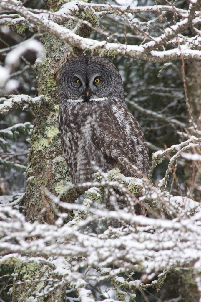 Great Gray Owl at Sax-Zim Bog in MN
