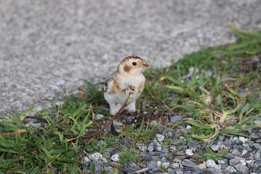 Sure it's a nice close-up of a Snow Bunting, but I was standing when I took it and it's just not as personal because of the downward angle I shot at.