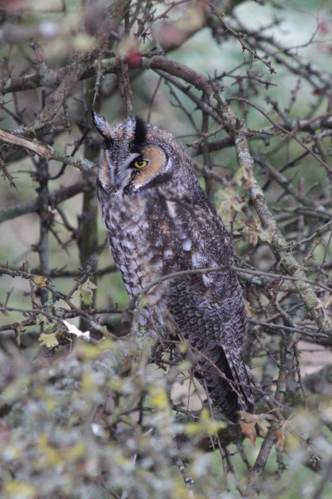 Long-eared Owl in Delta BC