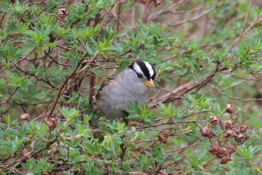 White-crowned Sparrow at Kitsilano Beach