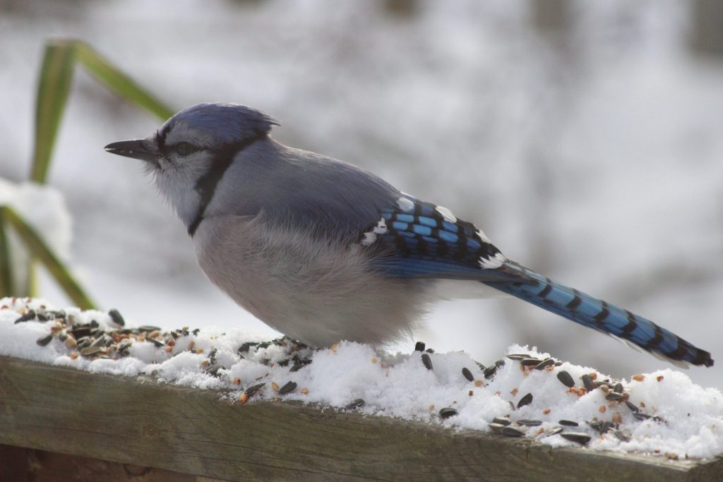 Blue Jay eating seeds off the deck
