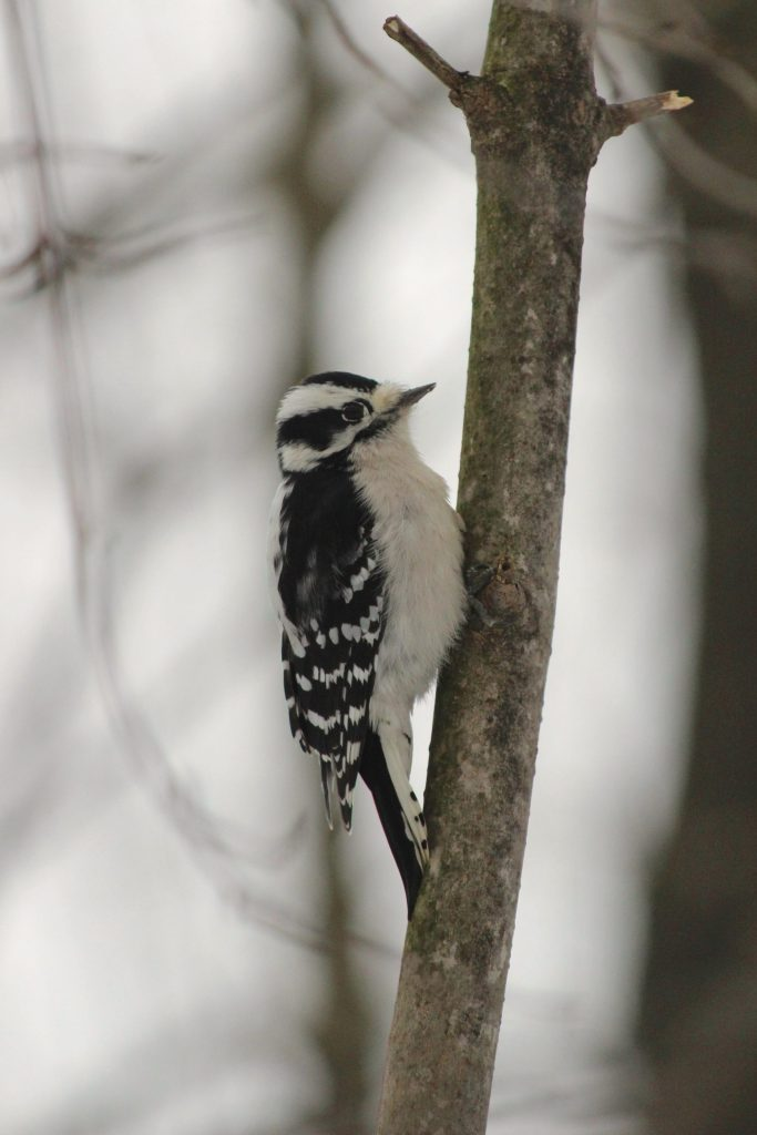 Female Downy Woodpecker: females lack the red nape