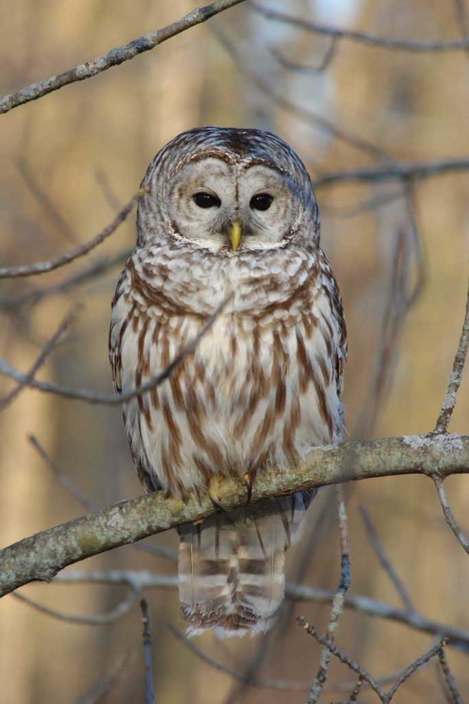 A Barred Owl at Lemoine Point