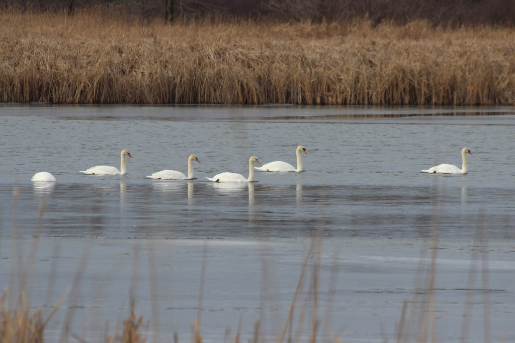 Mute Swans across the road from Cataraqui Bay
