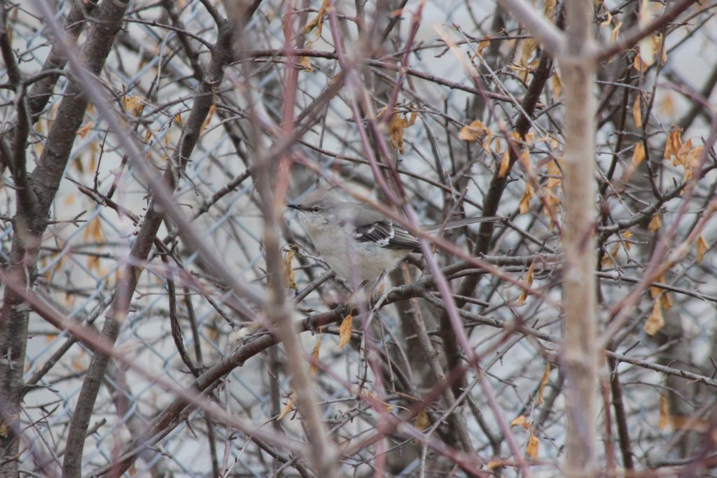 A Northern Mockingbird partially obscured in the bushes