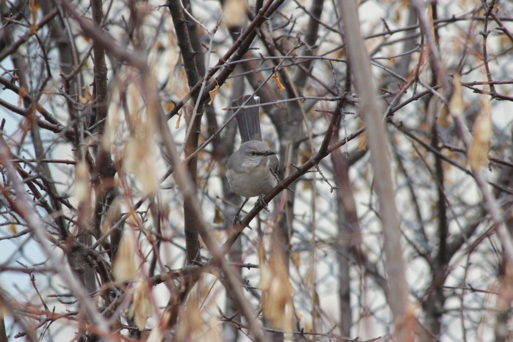 A Northern Mockingbird peers out from the bushes
