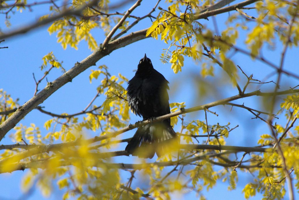 Brewer's Blackbird (male) singing at Iona Island; photograph very much not taken this week