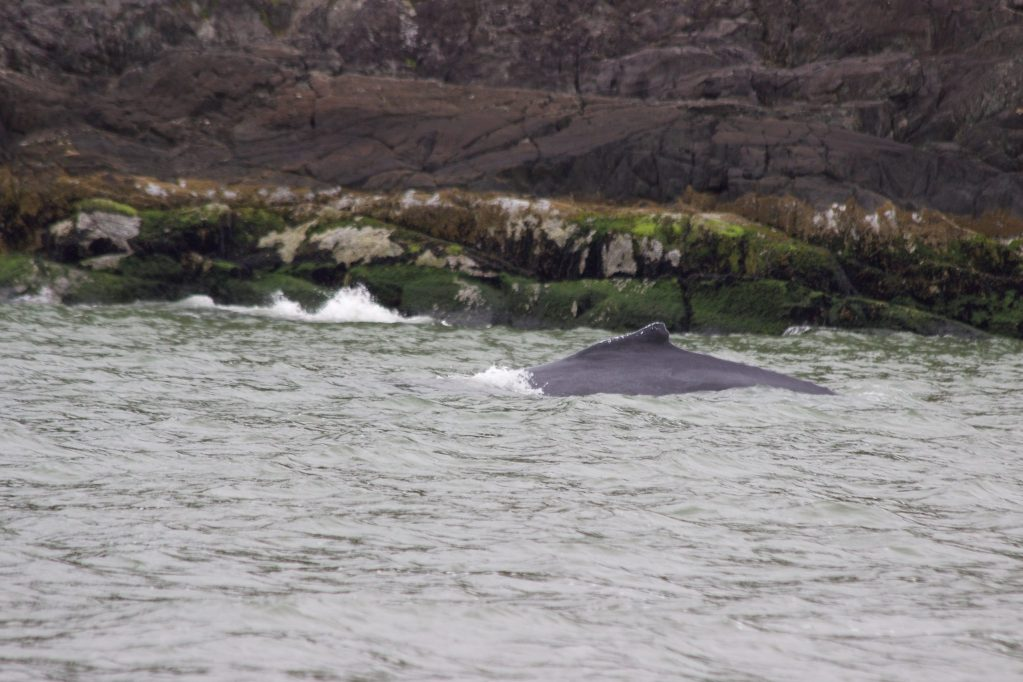 The small dorsal fin and arced back of a Humpback Whale