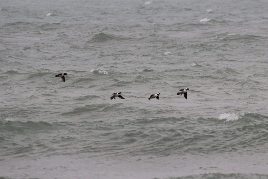 Three male and one female Bufflehead landing in the chop