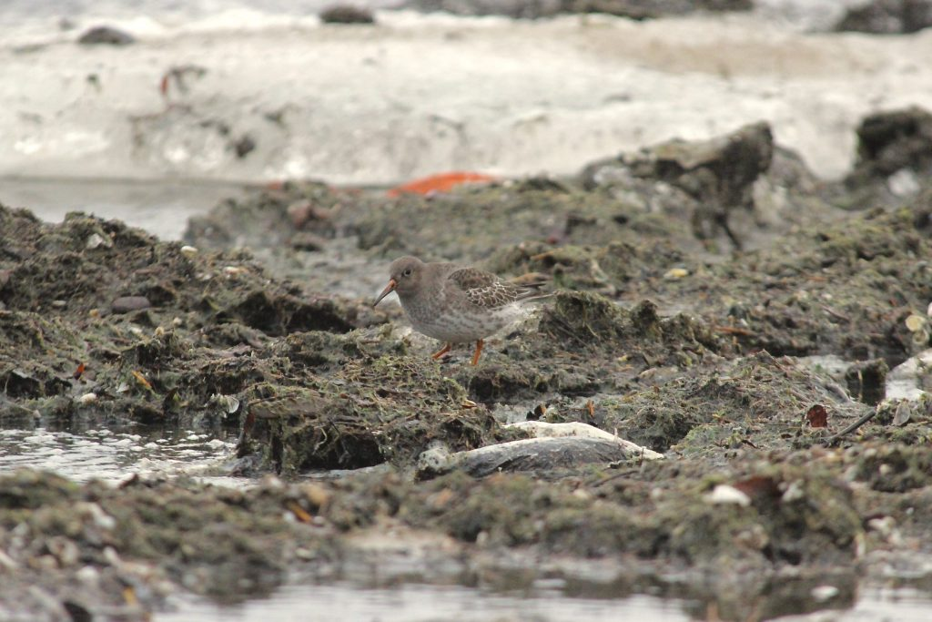 Yet another Purple Sandpiper