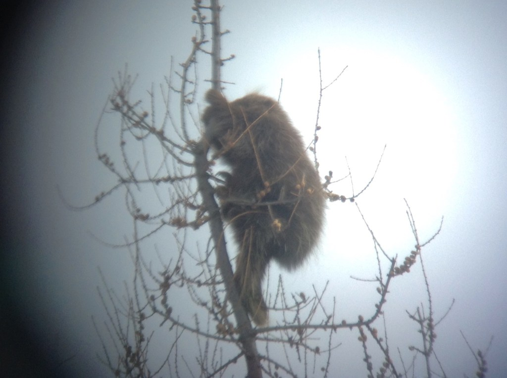 Digiscoped North American Porcupine in Sax-Zim Bog, MN