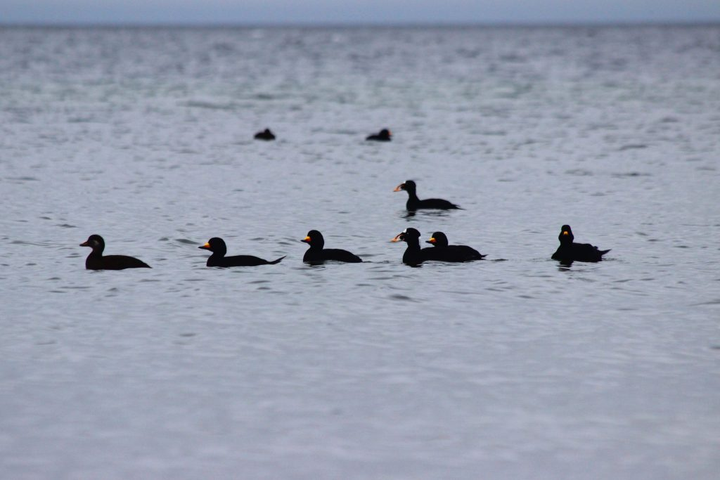 Out on the Sunshine Coast, sometimes the mix is the other way around: more Black Scoter than Surf Scoter.