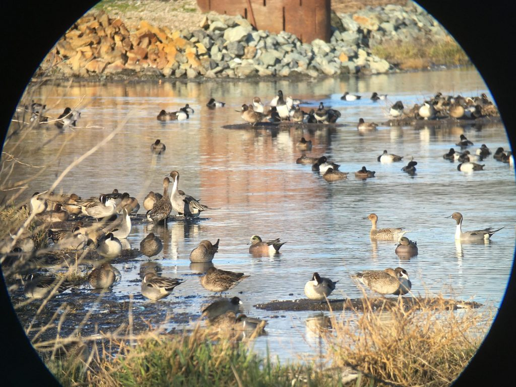 "A ""scopeful"" of dabbling ducks at Iona. 10 points if you can name all 5 species in the comments below!"