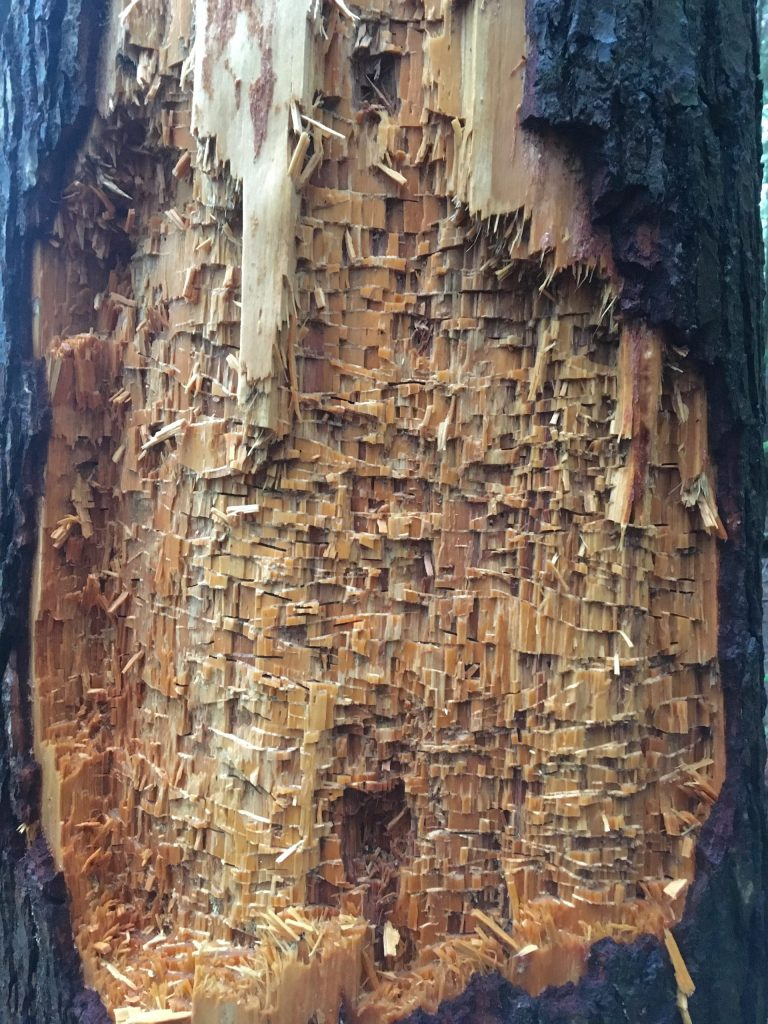 We didn't see a Pileated Woodpecker today, but we found some of their handiwork