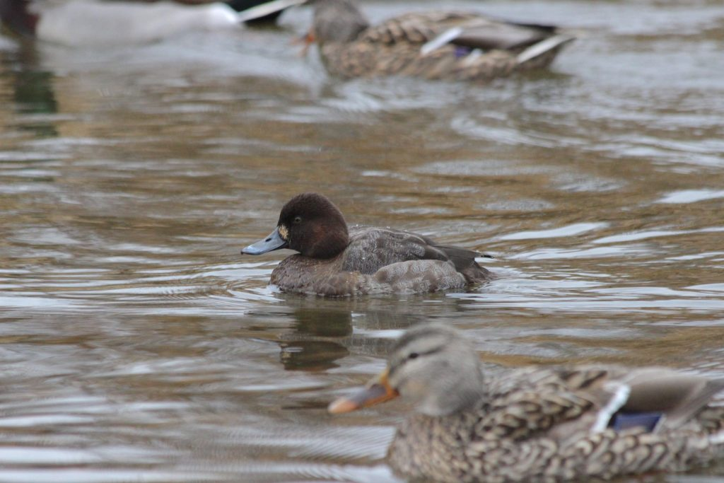 Here's a tougher one. Greater or Lesser? A good hint is that it's also at Burnaby Lake, so it's probably Lesser. But it's got a round-looking head and less upright posture, suggesting Greater. Look at the head shape though. See how it's still highest at the back, not up toward the forehead? This is a Lesser Scaup.