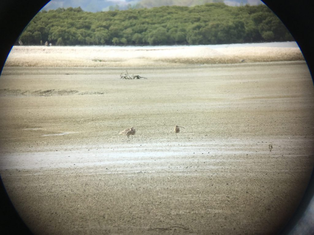 3 Far Eastern Curlew...a little further east than usual