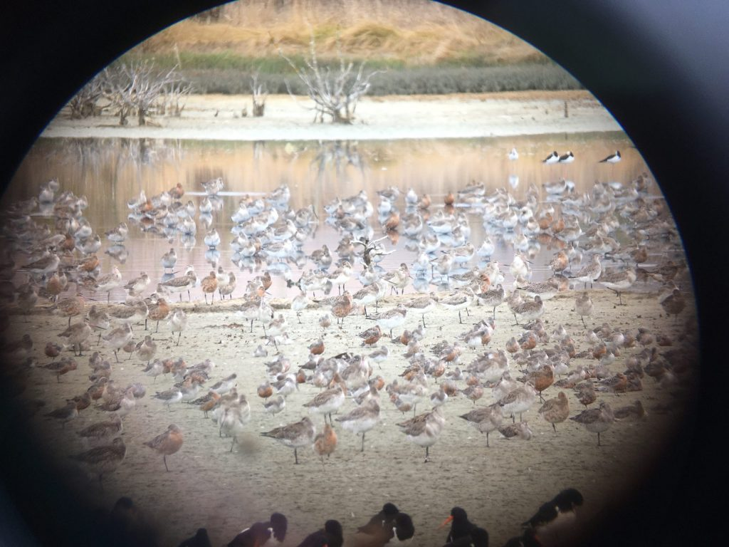 Bar-tailed Godwit, Pied Stilt, South Island Oystercatcher, and Red Knot roost on the flats