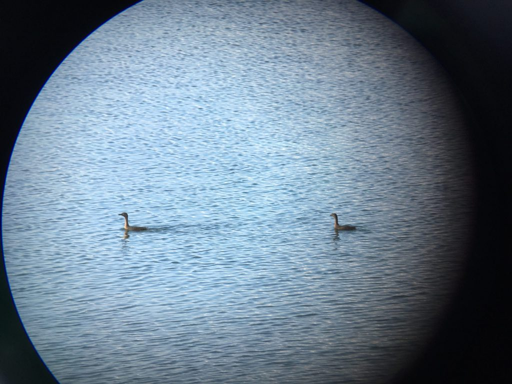 A pair of New Zealand Grebe