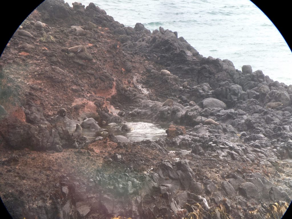 Digiscoped Australasian Fur Seals. How many can you see?