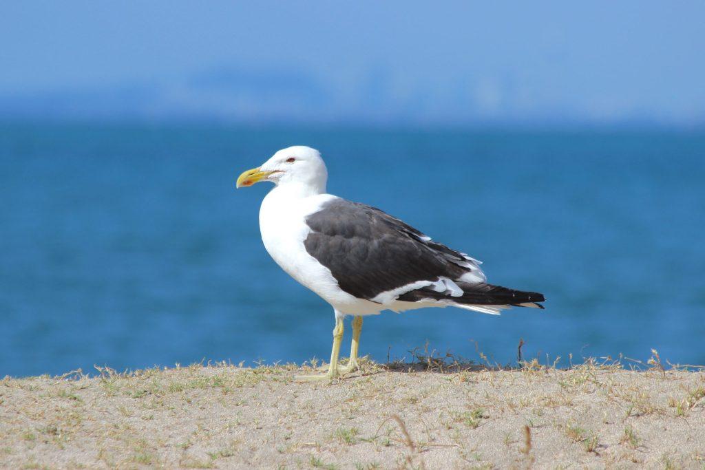 What a birder sees (Kelp Gull)