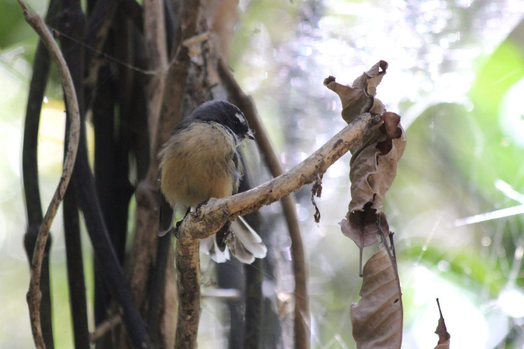 A male New Zealand Fantail