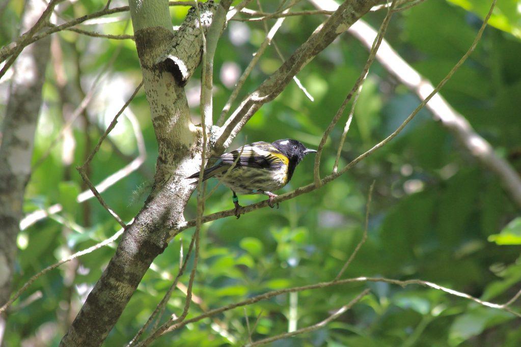 A male Stitchbird