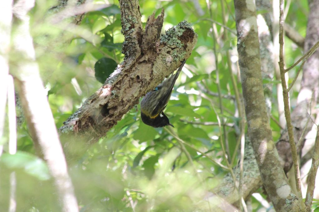 A male Stitchbird perched like a White-breasted Nuthatch