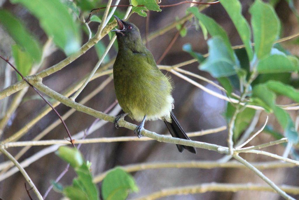 New Zealand Bellbird singing its heart out