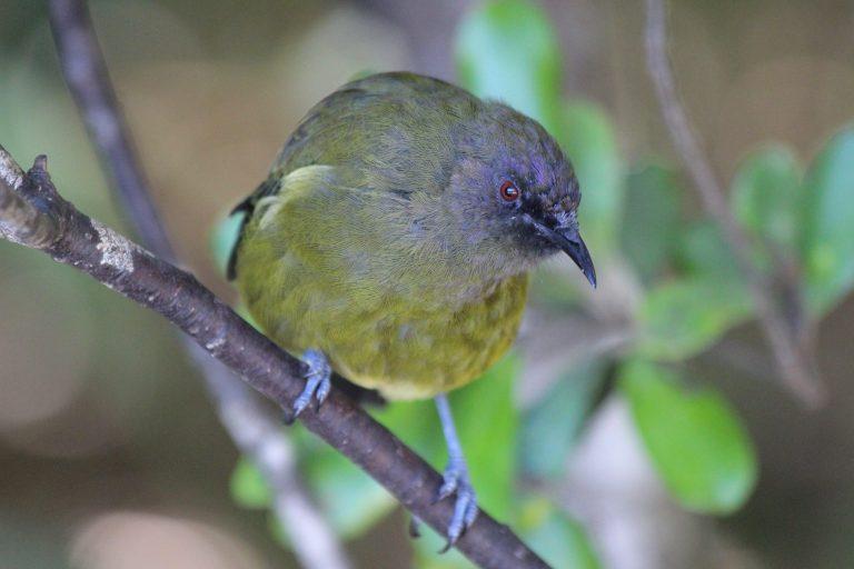 New Zealand Bellbird (New Zealand Part 4 and Trip Recap)
