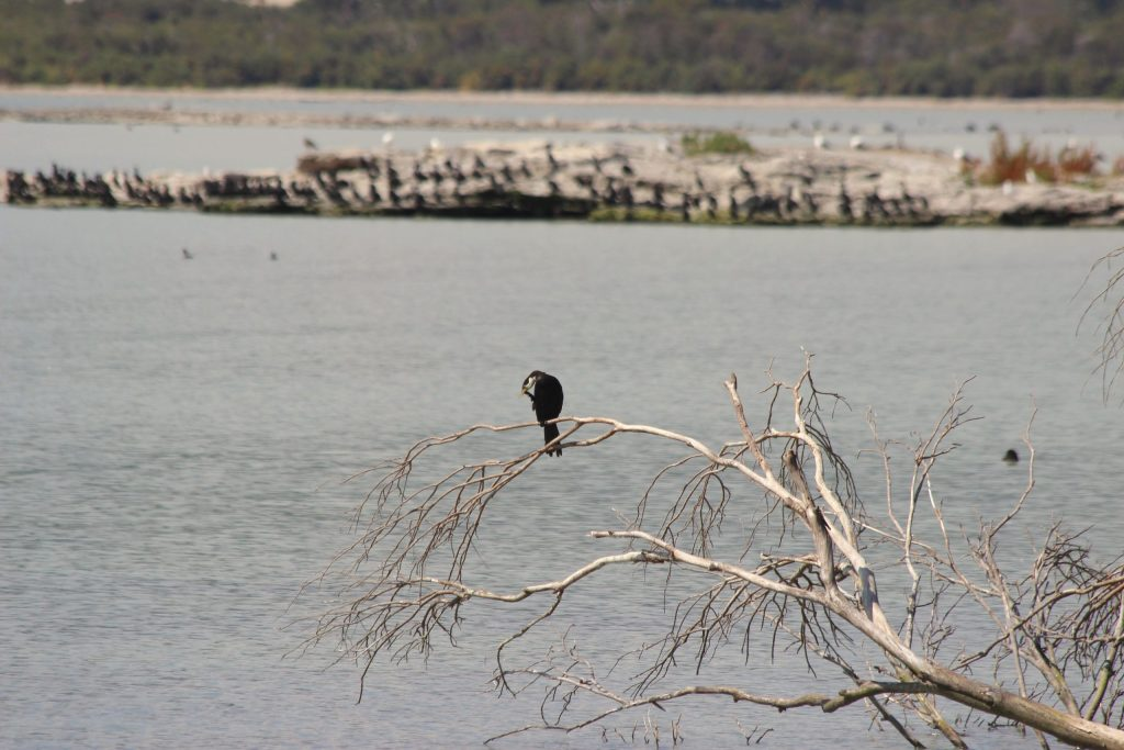 An itchy Little Pied Cormorant with dozens of mixed cormorant, gull, and duck species behind