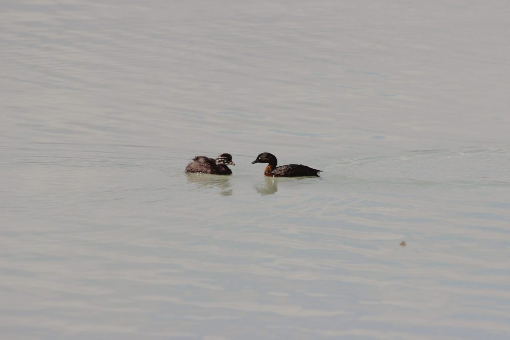 New Zealand Grebe adult (adult) and young (right)