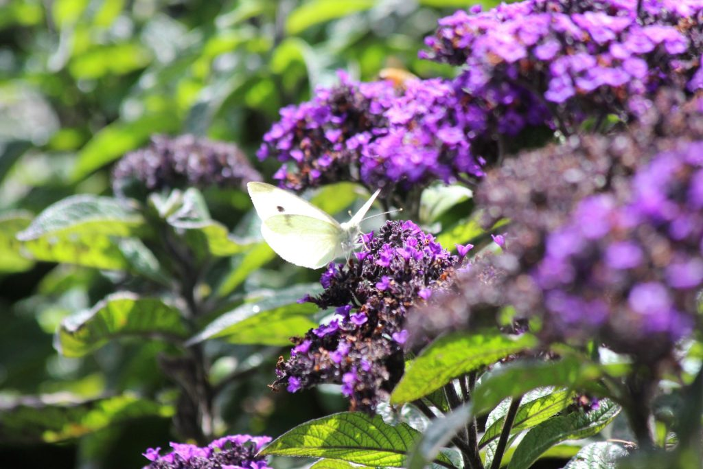 White Butterfly (or Cabbage White) at Wellington Botanical Gardens