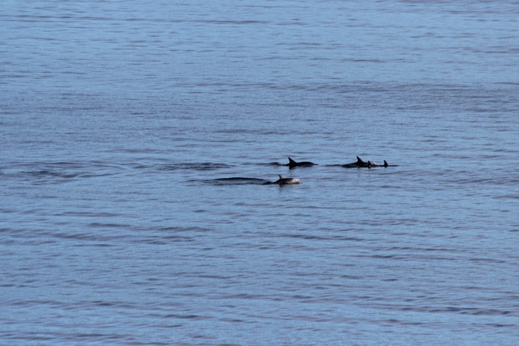A small pod of Short-beaked Common Dolphin: note the two little ones up front