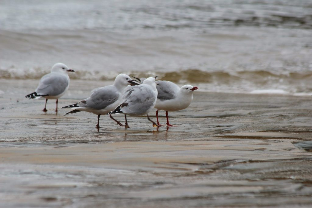 Silver Gulls......Silver Guuuuuuulls...it's birding time, on the island