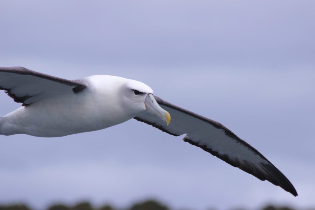 A White-capped Albatross that followed our boat