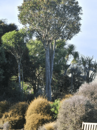 A mature Lancewood. Image taken from an article on the tree in the Otago Daily Times.