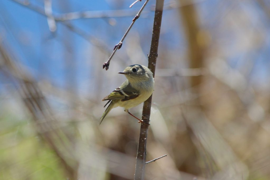 This Ruby-crowned Kinglet actually stopped for half a second
