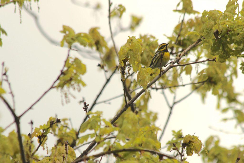 Townsend's Warbler at QE Park