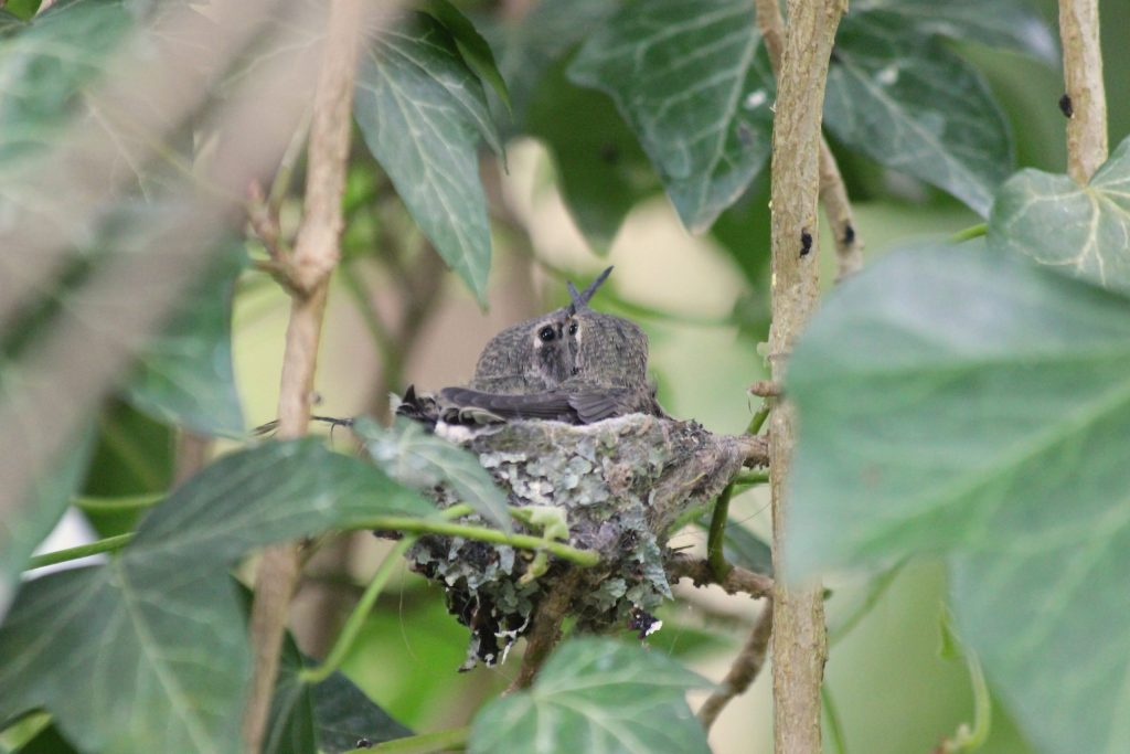 Two young Anna's Hummingbirds barely fitting in their nest