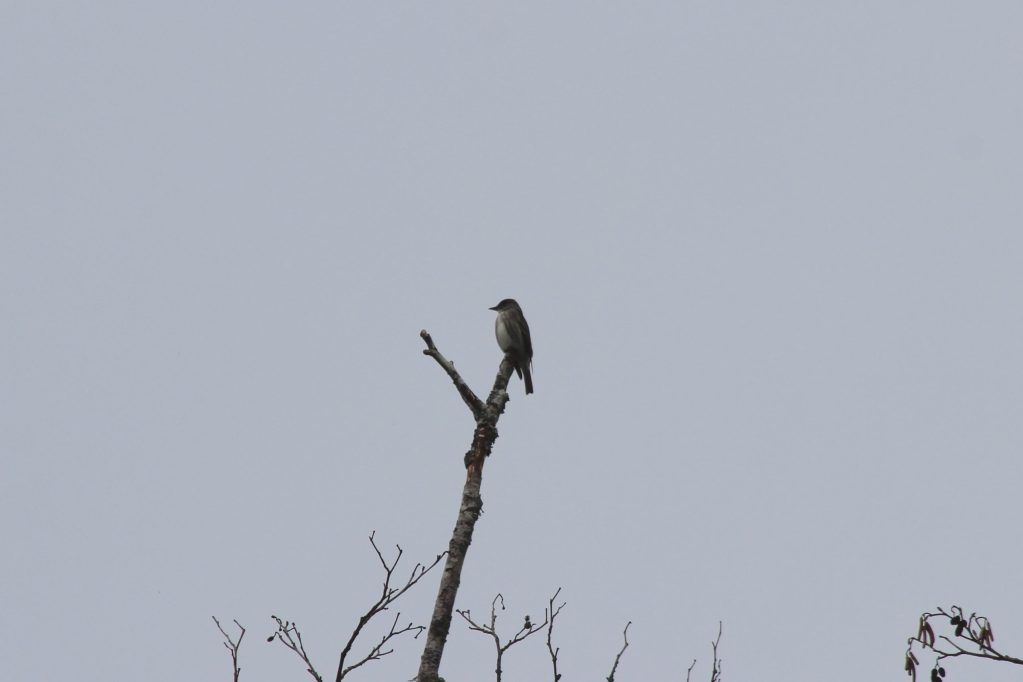 """An Olive-sided Flycatcher's """"vest"""" stands out even in poor light"""