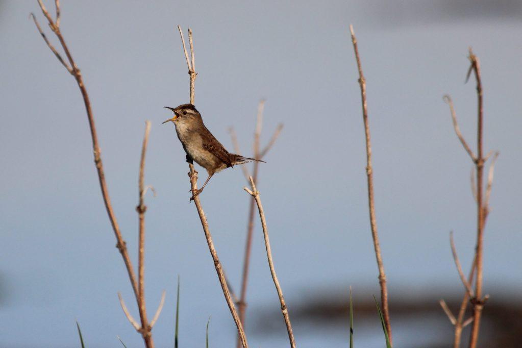 A Marsh Wren sings at Iona
