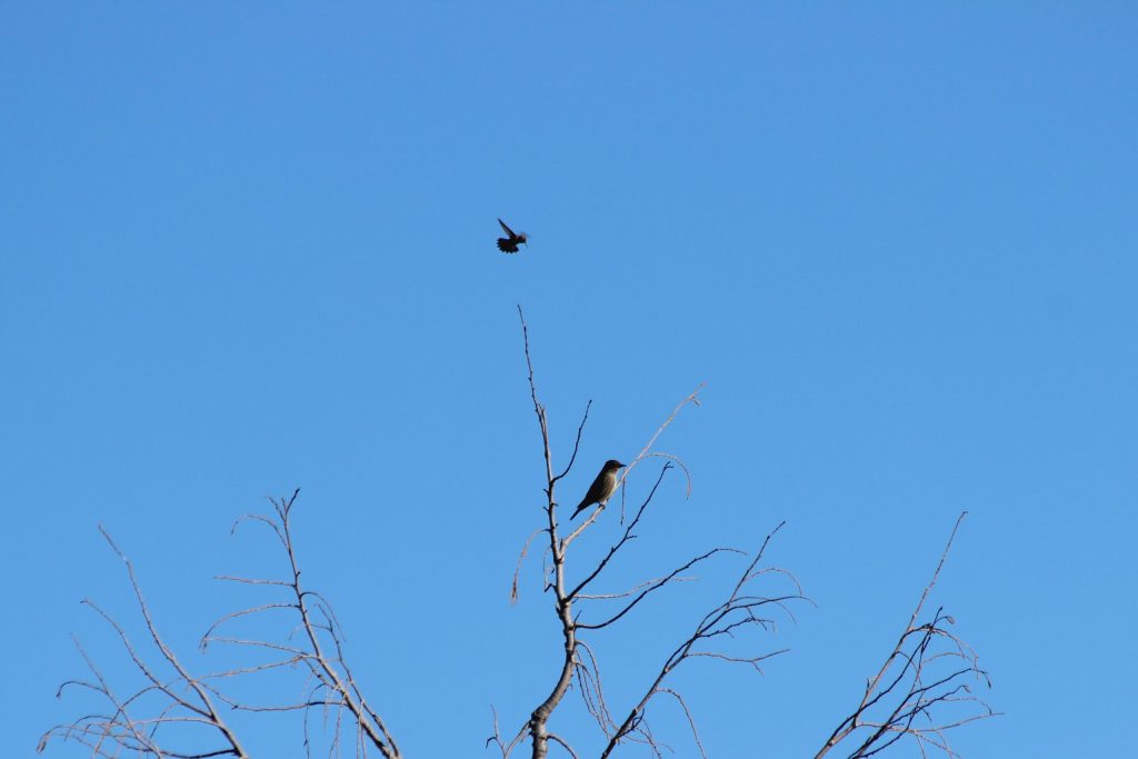 An Olive-sided Flycatcher tolerates an Anna's Hummingbird high in QE Park