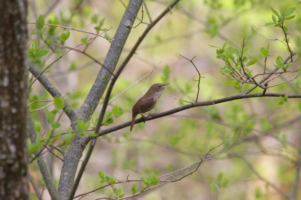 A House Wren singing in Minnesota