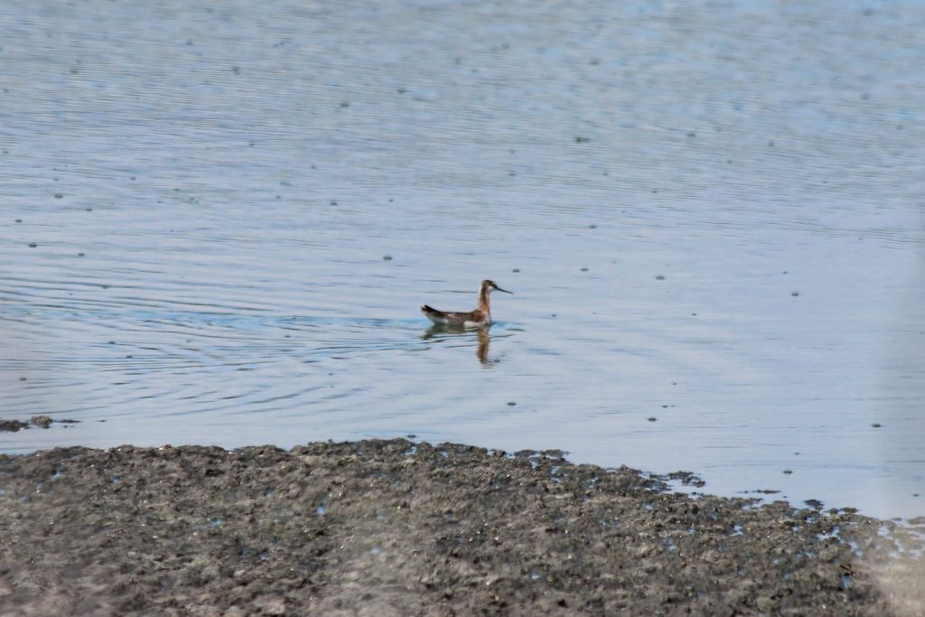 Wilson's Phalaropes are one of very few shorebirds that regularly feed while swimming