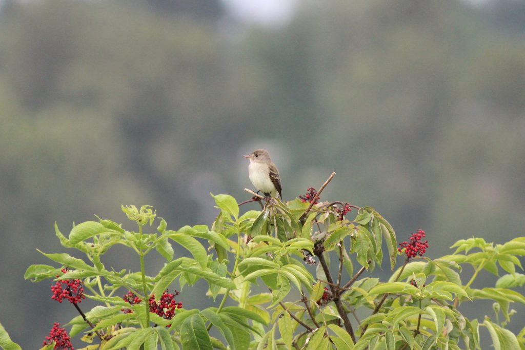 The paler Willow Flycatcher with inconspicuous eye ring